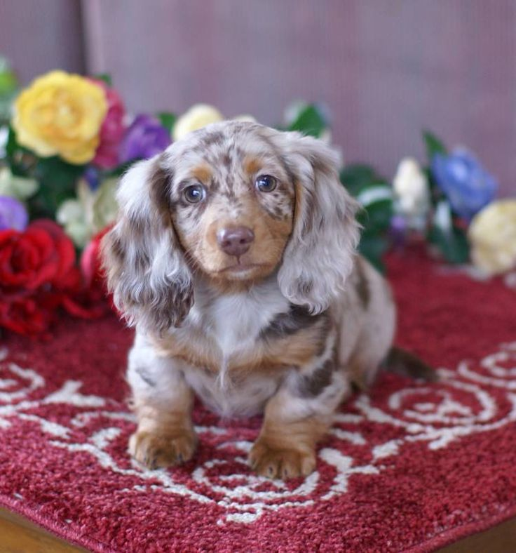 tiny dapple doxie...this is what copper was supposed to look like but his hair never grew in!