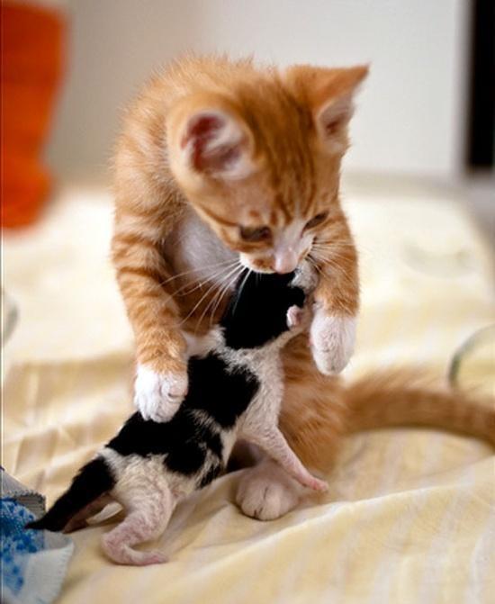 ginger kitten adopts orphan kitten