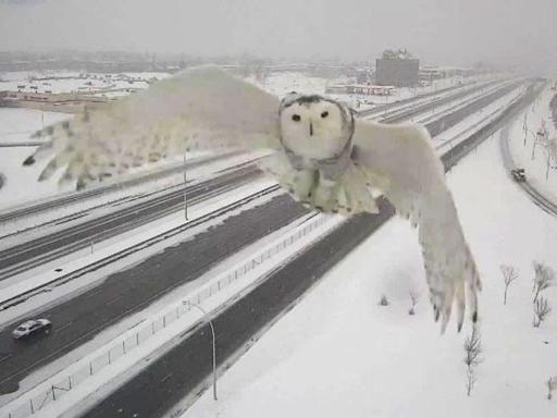 Un maestoso gufo delle nevi irrompe nella telecamera. Guarda il VIDEO