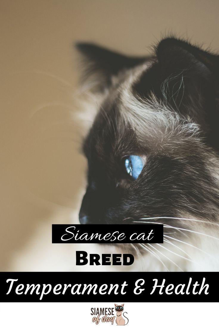 Siamese Cat Breed Temperament Health Siamese Of Day Siamese Cats Cat Breeds Siamese Kittens