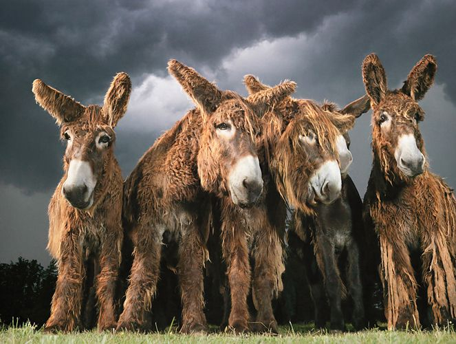 Donkeys by Tim Flach #animal #photography #donkey