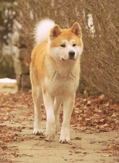 Japanese Akita. the real japan, real japan, animal, animals, japan, japanese animal, deer, duck, bird, cat, neko, cute, dog, inu, crab, fish, zoo, park, wildlife, tour, explore, travel, adventure, pet, puppy, kitten, rabbit, butterfly http://www.therealjapan.com/subscribe