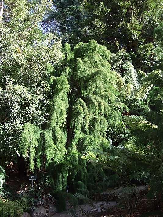 Huon Pine (Lagarostrobos franklinii)