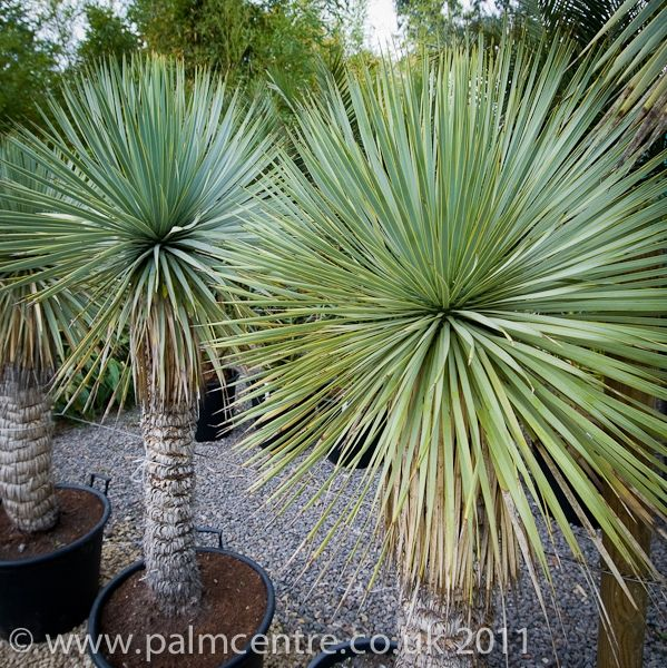 Yucca rostrata (Beaked Yucca) for sale - From Palm Centre