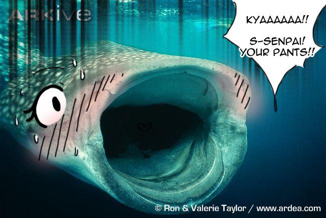 sempai | Tsundere Sharks | Know Your Meme