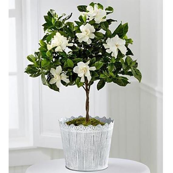Mini Miami Supreme Gardenia Tree 6 Pot Beautiful Fragrant