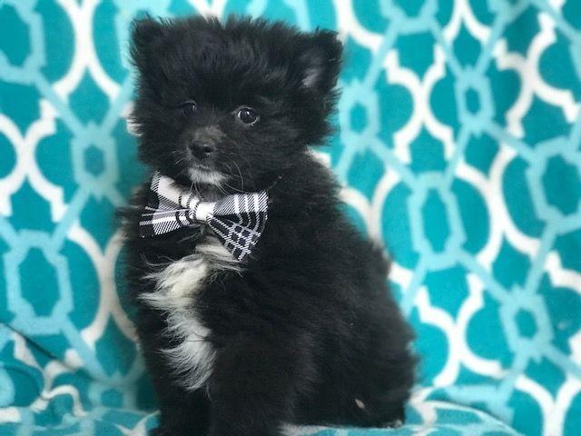 Pomeranian Puppy For Sale In East Earl Pa Adn 71012 On