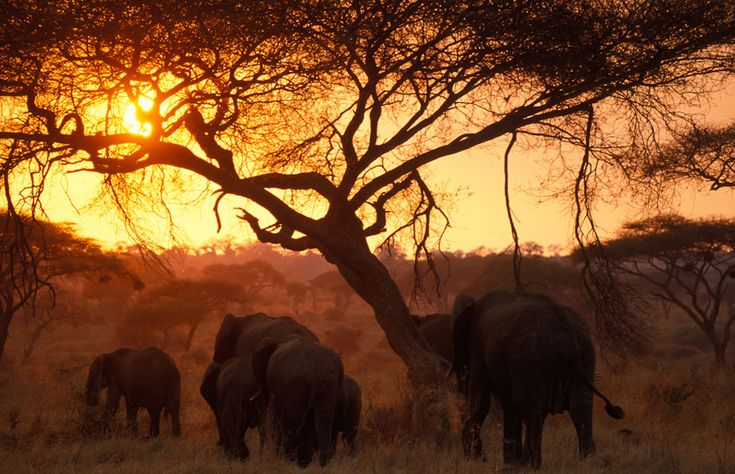 African elephants walking into the sunset, Tarangire NP Photos