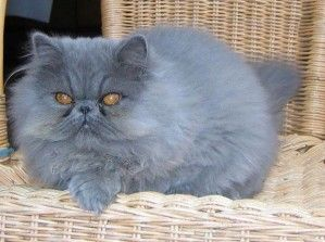 34 best images about chat on pinterest siberian cat maine and cats. Black Bedroom Furniture Sets. Home Design Ideas