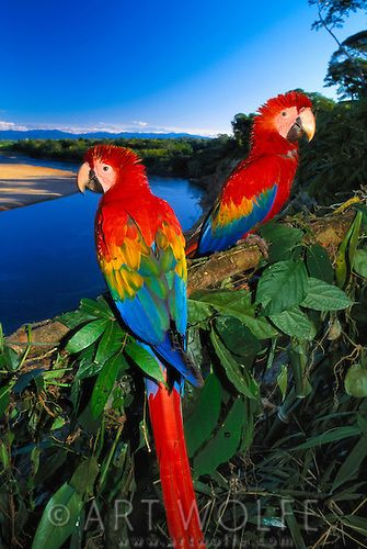 Scarlet Macaws, Peru<br /> This pair of Scarlet Macaws were hand raised by biologists in the Tambopata-Candamo National Reserve and released into the wild, so they are very comfortable around people.
