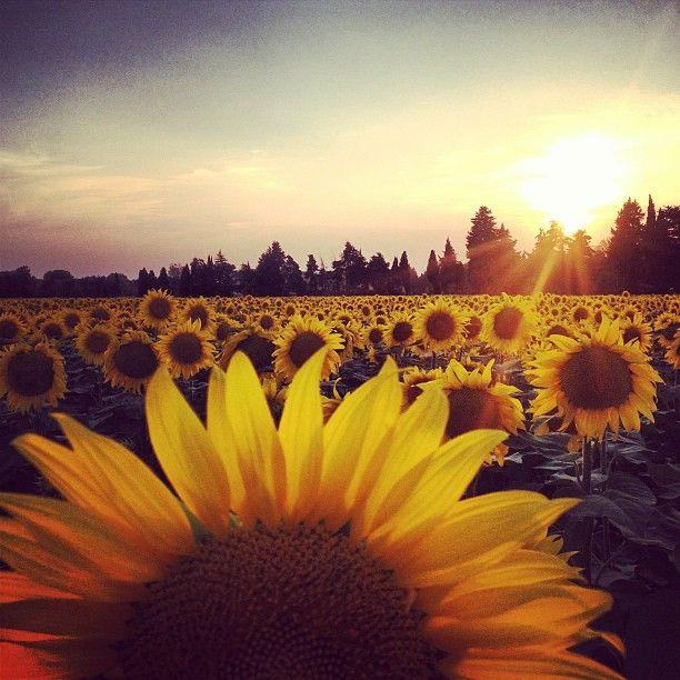 155 Best Sunflower Images On Pinterest