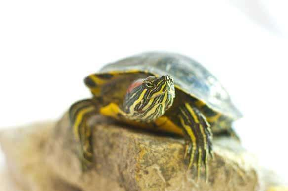 Knowing how to care for a baby red ear slider is important for the turtle's health. This is an easy to read guide on exactly how to care for your turtle.