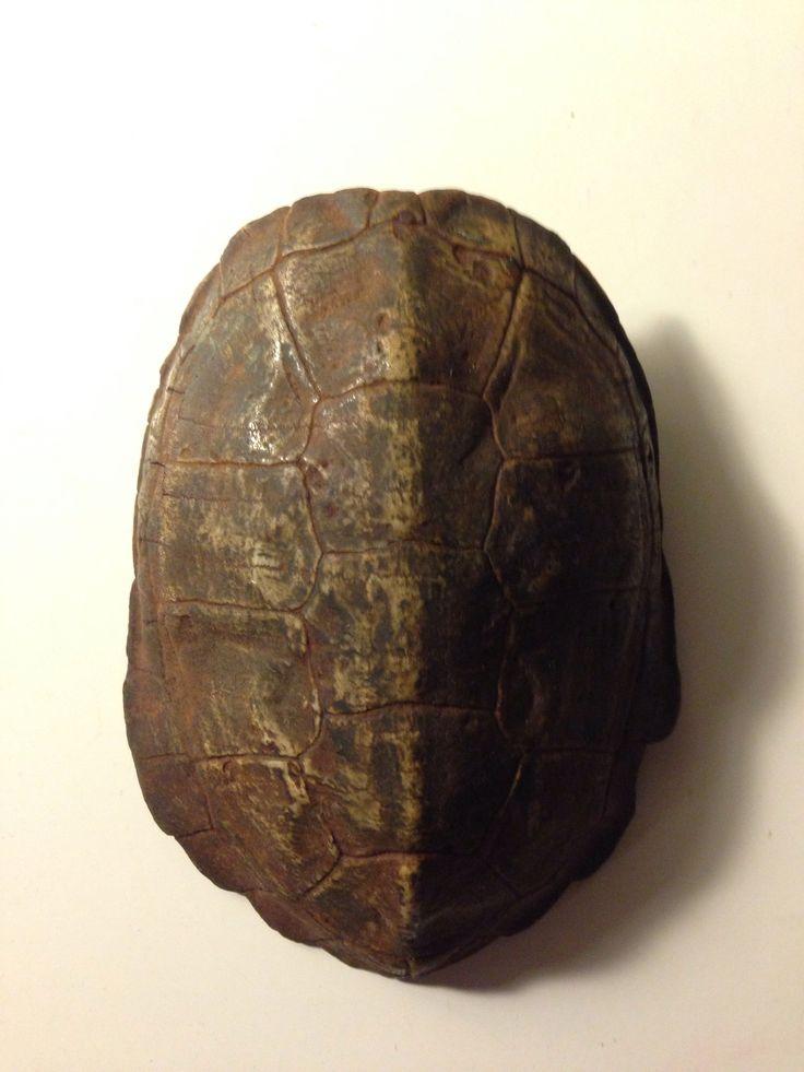 日本石亀の甲羅