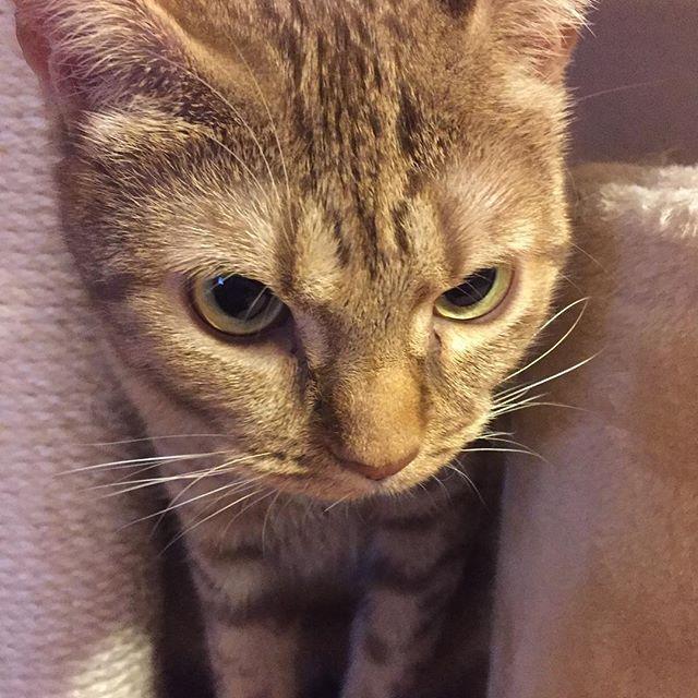 #猫 #cat #고양이 #オシキャット#ocicat #こまめ #愛猫