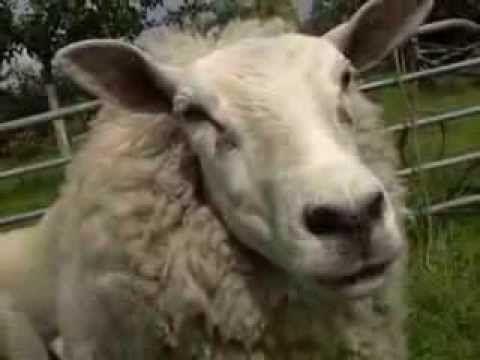▶ Ernst, Bobbie en de Rest - Schapen scheren (NL) - Avonturen op de boerderij: Afl. 1 (1999) - YouTube