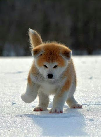 The Akita is a large breed of dog originating from the mountainous northern regions of Japan.