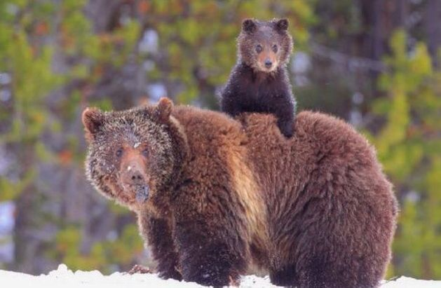 Baby grizzly bears   I want one...   Pinterest