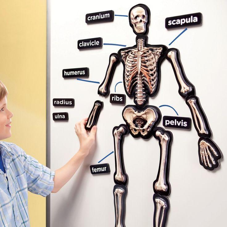 best 20+ human skeleton 3d ideas on pinterest | human anatomy 3d, Skeleton
