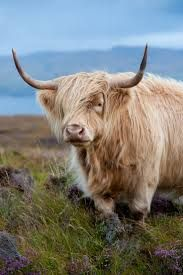 Image result for highland cattle society