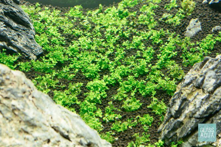 Guide To Planted Aquarium Aquascaping - Iwagumi - Glass ...