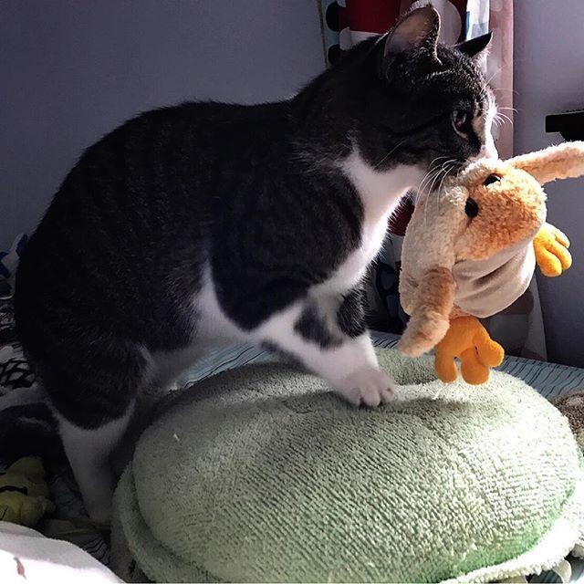 カメとカエルのぬいぐるみでフミフミ #うどん職人 #ふみふみ #自由猫 #ねこ #猫 #通い猫 #ふわもこ部 #ねこ部 #ねこら部 #かわいい #猫好きな人と繋がりたい #ニャンコ #キジシロ  #ネコ #ネコスタグラム #にゃんこ #きじしろ #キジ白 #アイドルねこ #愛猫 #ねこ写真 #チームシロキジ #猫のいる暮らし #にゃんだふるらいふ #ねこちゃん #猫との暮らし #猫生活