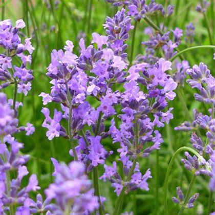 Lavandula angustifolia 'Munstead' - lavendel kopen | Maréchal