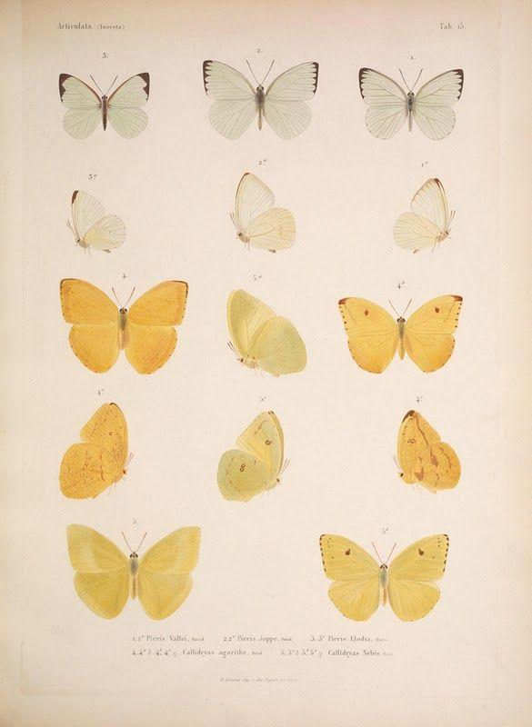 smokingwine:  the book of british butterflies