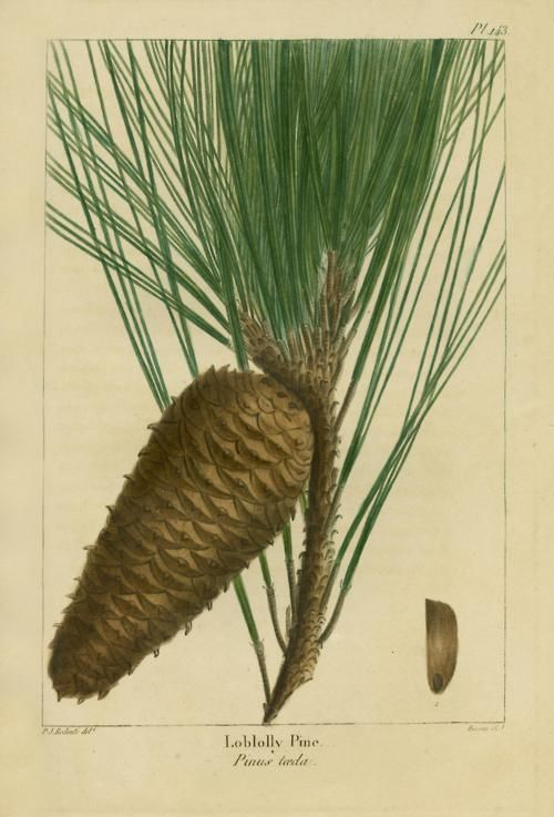 Pine Cone Illustration Loblolly Pine; vintage...