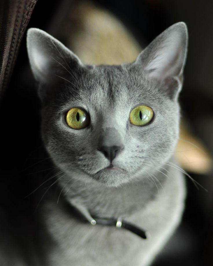 "noraneko180: ""ロシアンブルーのミチコさん♀ 初めて飼った猫でもう少しで7歳、まだまだ長生きして欲しいです #ロシアンブルー #russianblue..."