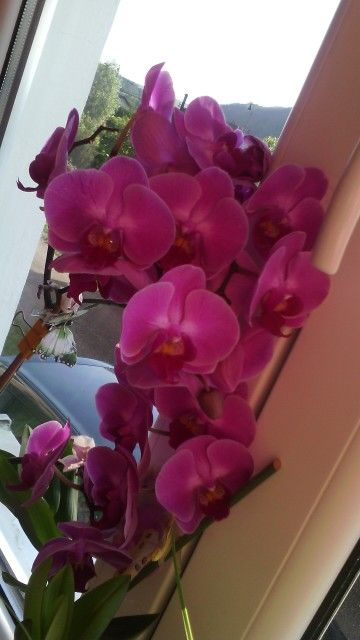Rose Orchid