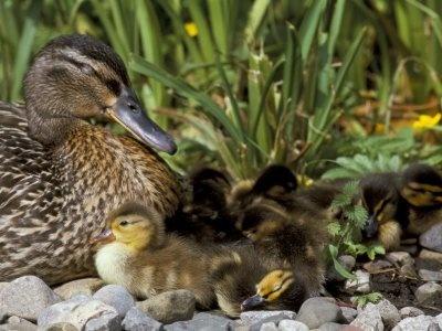 momma duck n ducklings