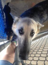 Petango.com – Meet Danica, a German Shepherd / Mix available for adoption in BASTROP, TX