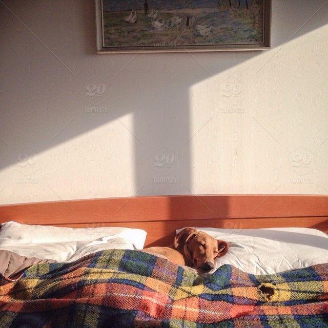 Twenty20 ~ Pavica asleep in my bed 2015