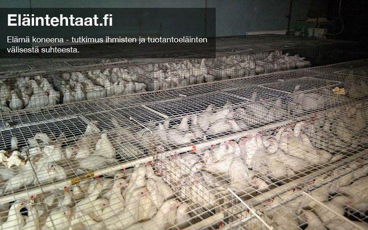 Kanala Sastamalassa, marraskuu 2013. Tämä kanala tuottaa nuoria kanoja, jotka päätyvät munijoiksi toisiin kanaloihin. Tilalla käytiin kahdessa rakennuksessa: toisessa oli nuorempia, toisessa hieman vanhempia kanoja. Molemmissa rakennuksissa kanat olivat ahtaissa häkeissä. Kaksi kanaa oli juuttunut häkkien rakenteisiin ja kuvaajien piti auttaa ne irti. Yksi kana oli ilmeisesti vammautunut ja näytti ettei se kyennyt kunnolla liikkumaan. http://elaintehtaat.fi/kanala-sastamalassa-marraskuu-2013