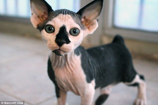The Hairless Gene Is A Recessive Gene So The First Generation Of Kittens Are Produced With Bambino Cat Cat Training Cat Lovers