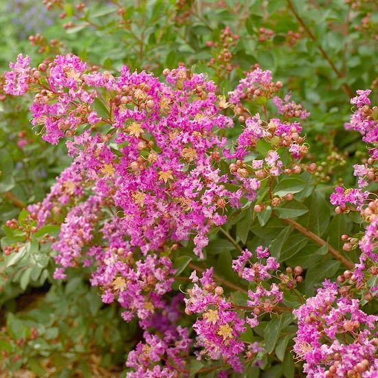 17 best images about new plant ideas for the garden this for Tall flowering shrubs