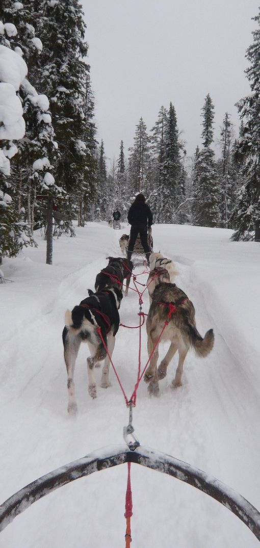 Husky safari - one of the most fun activities that you can do on a trip to Rovaniemi, Finland.