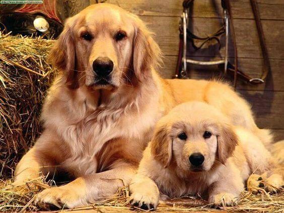 Hoy hablamos de una de las razas más populares del mundo: el Golden Retriever.