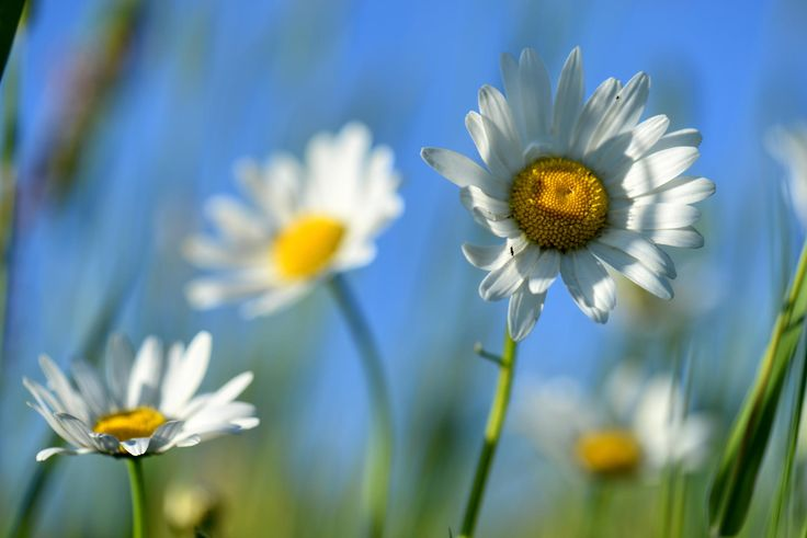 These daisies where standing in the middle of a meadow with long straw.