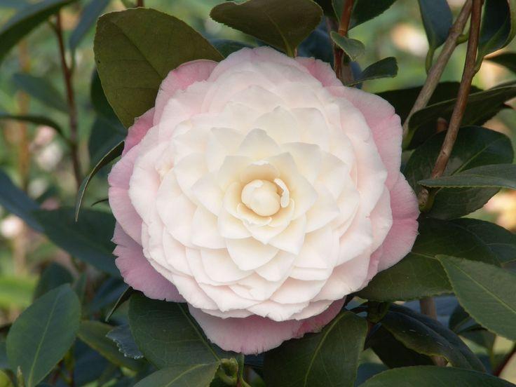 """Nuccio's Pearl Camellia - Monrovia - Nuccio's Pearl Camellia -- pinner's comment - """"got it"""""""
