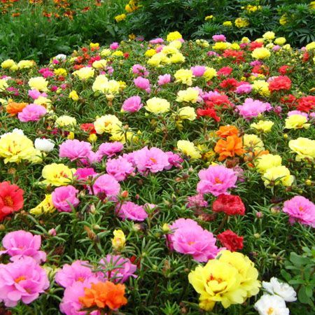 0a3f0b1a2eea09cfdfb0be383fb0e3ad.jpg (450×450) Beautiful Portulaca Flowers.