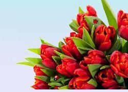 Tulipany, Czerwone, Biedronki
