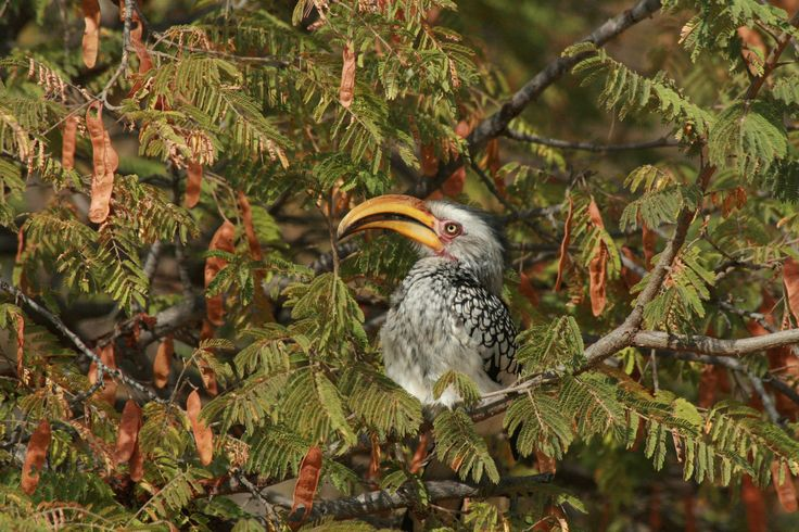 Southern yellow-billed hornbill in an acacia.
