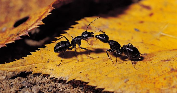 Cómo hacer un insecticida casero para hormigas que realmente funciona