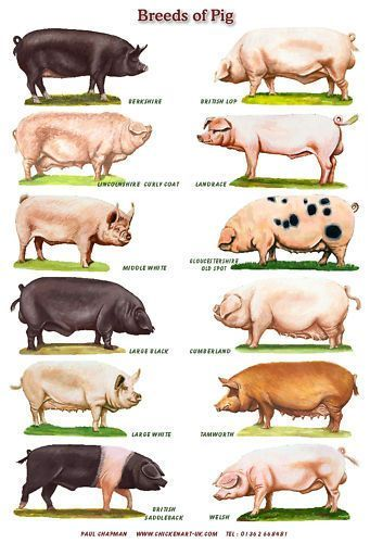 Common Breeds of Hogs. Swine, Hog, Pig Infographic. ❣Julianne McPeters❣ no pin limits