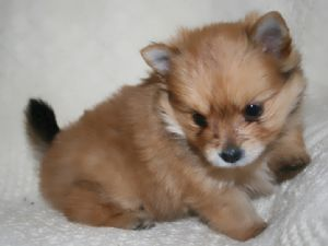 Pomeranian Mixed With Yorkie Black 25+ best ideas about T...