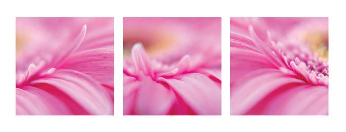 růžové kvítky gerbery