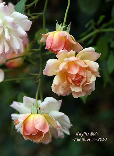 Rose 'Phyllis Bide' | Sue Brown via Flickr