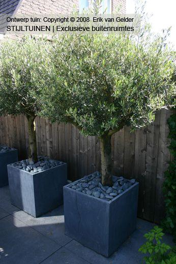 olive tree in square pots.