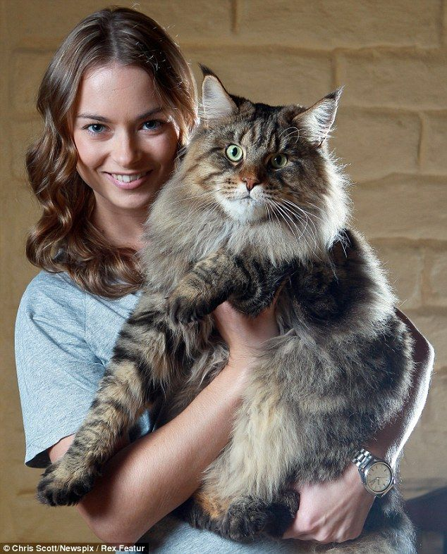 Prize-winning: Rupert is a three-time cat of the year in Australia, and is said to be one of the biggest domestic cats in the world Follow @showmeCats #showmecats #thebeauty #BeautifulCat
